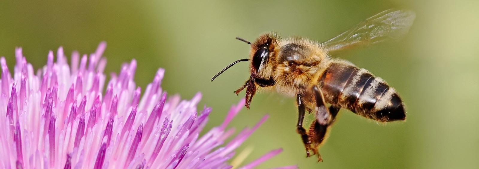 Kafkas arısı